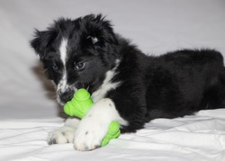 Cute black and white boarder collie and Australian Shepard mix puppy lying down playing with green toy on white background.