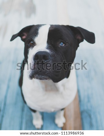 Free Photos American Bulldog Puppy Looking Up At A White Background