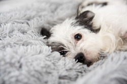 Cute Black and White Dog on Fluffy Gray Blanket
