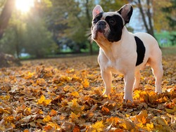 Cute black and white french bulldog sits and looks straight in the camera on the yellow autumn leafs during beautiful autumn day.
