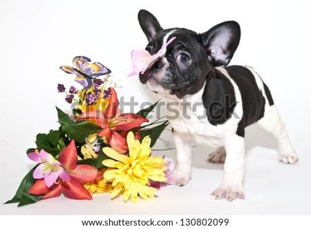 Cute black and white French Bulldog with a butterfly landed on his nose, on a white back ground.