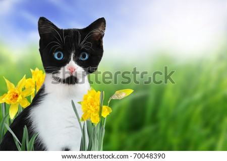 Cute black and white kitten in nature with yellow spring daffodils. - stock photo