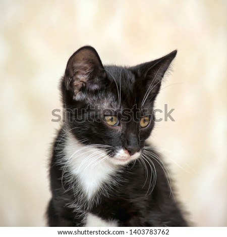 cute black and white kitten with a white breast #1403783762