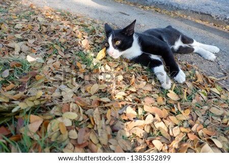 cute Black cat  is rolling around on the autumn leaves , Leaves , Falling leaves , Dry leaves #1385352899