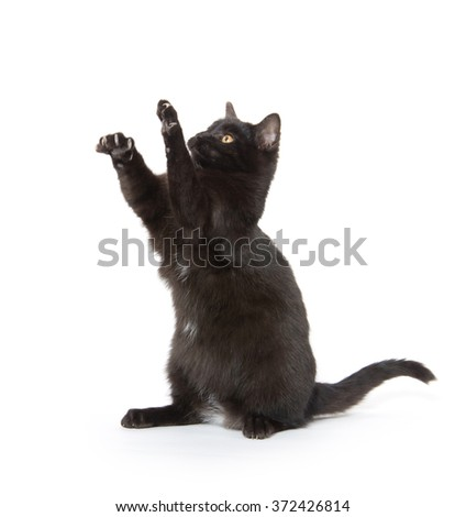 Cute black cat jumping and playing isolated on white background