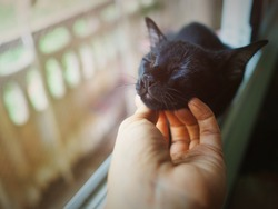 Cute black cat lazily sleep by lay its chin on woman's hand.Close its eyes while being scratched by owner.Warm morning light.