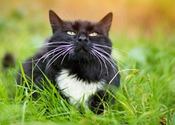 Cute black cat lying on green grass lawn, shallow depth of field portrait. A black cat with a white spot . Black cat hunts in the grass. Adult black and white cat sitting on the grass Copy space