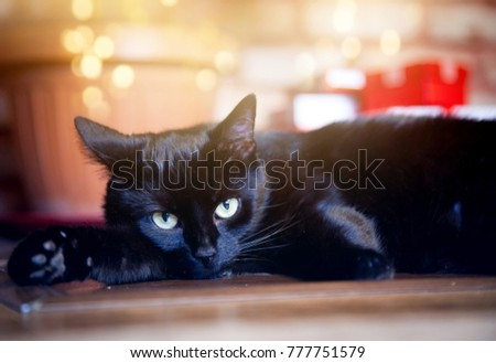 cute black cat relaxing in front of christmas tree and fire burning in fireplace in the - Black Cat Christmas Tree