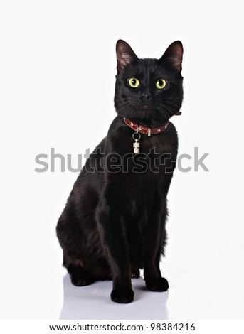cute black cat with collar sitting isolated on white background