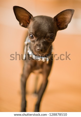 Cute black chihuahua dog