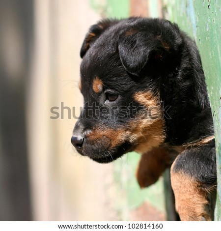 cute black dog looks out of the fence