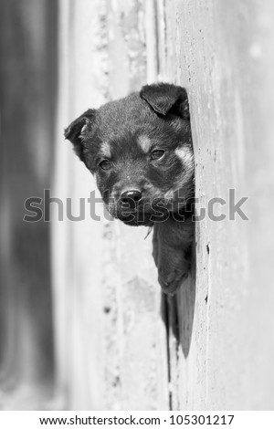 cute black dog looks out the fence
