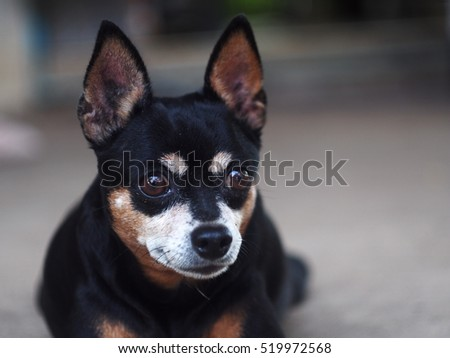 cute black fat lovely miniature pincher dog with brown dog eyes serious face close up resting outdoor on country home garden floor portraits view. #519972568