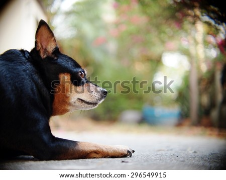 cute black fat lovely miniature pinscher dog with brown dog eyes smiling face close up resting outdoor on a country house\'s concrete garage floor portraits view