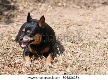 cute black fat lovely miniature pinscher dog with brown dog eyes smiling face close up resting outdoor on a country house\'s garden floor portraits view with home surrounding background