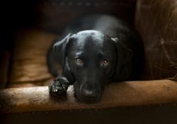 cute black labrador