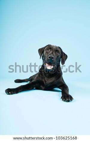 Cute black labrador retriever isolated on light blue background. Studio shot.