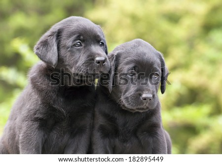 Cute black Labrador Retriever puppies looking