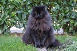 Cute black longhair cat sitting in grass in garden and look straight-portrait animal