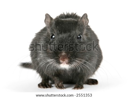 Cute black male rodent isolated on a white background, macro close up with copy space