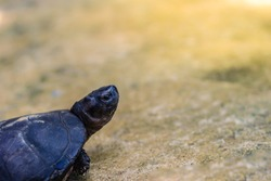 Cute black marsh turtle (Siebenrockiella crassicollis) also known as black marsh turtle, smiling terrapin, and Siamese temple turtle is a freshwater turtle endemic to Southeast Asia.