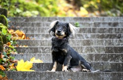 Cute black mixed-breed dog (mutt) sitting on the stairs in the park (autumn season)