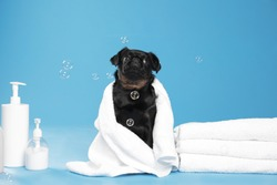 Cute black Petit Brabancon dog with towel, bath accessories and bubbles on light blue background