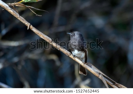 Cute Black Phoebe bird clings tightly to the vegetation perch while remaining alert to danger and looking to left.