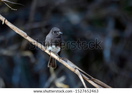 Cute Black Phoebe bird clings tightly to the vegetation perch while remaining alert to danger and looking to right.