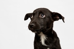 cute black puppy isolated on white. baby mutt dog looking sad
