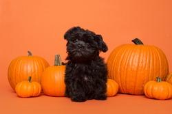 Cute black puppy sitting between orange pumpkins on an orange background