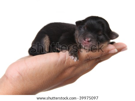 Cute Black Puppy Sleeping in a Human Hand on White