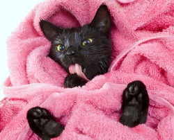 Cute black soggy cat licking after a bath, drying off with a towel