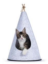 Cute black tabby with white Maine Coon cat kitten, sitting in gray felt tipi tent. Looking towards camera. Isolated on a white background.