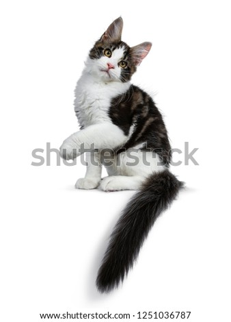 7309db7473 Cute black tabby with white Maine Coon cat kitten sitting side ways with tail  hanging from