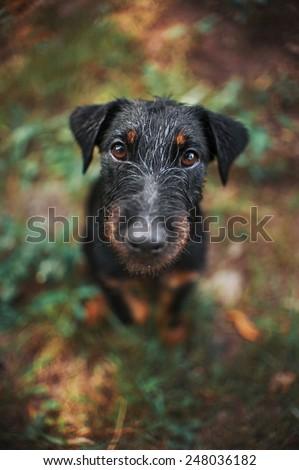 Cute black terrier dog, portrait close, summer