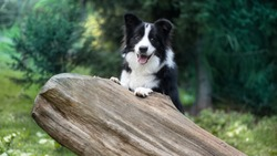 Cute black & white border collie in forest