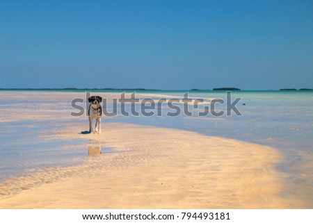 Cute black white dog on tropical sandy beach, sandbar island wildlife refugee which appear during low tide at Florida Keys, Key West - Shutterstock ID 794493181