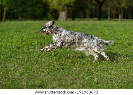 Cute blue belton English Setter dog is running fast cross on a spring flowering meadow