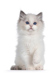 Cute blue bicolor Ragdoll cat kitte, sitting up facing front with one paw playful in air. Looking towards camera with blue eyes. Isolated on a white background.