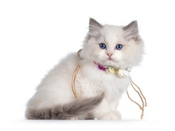 Cute blue bicolor Ragdoll cat kitte, wearing necklace with fake flowers and sitting side ways. Looking towards camera with blue eyes. Isolated on a white background.