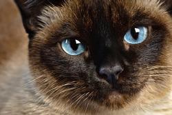 cute blue-eyed siamese cat sitting on chair
