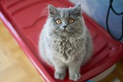 cute blue highlander british longhair shorthair kitten front face