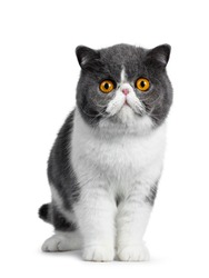 Cute blue with white young Exotic Shorthair cat, standing facing front. Looking curious straight into lens with amazing round orange eyes. Isolated on white background.