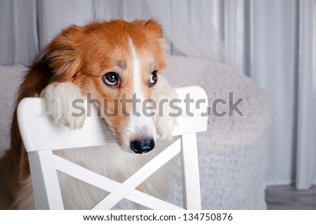cute border collie dog portrait in studio