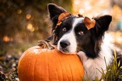 cute border collie dog resting his head on a pumpkin