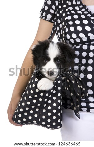 Cute Border collie puppy being carried in purse by girl dressed in black and white polka dots, isolated on white background