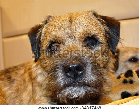 cute border terrier