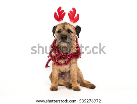 Cute Border Terrier dog with Christmas antlers #535276972