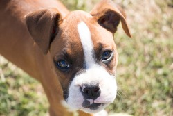 Cute boxer dog puppy face